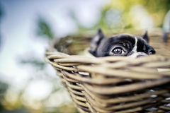 Young Boston Terrier riding in basket on Bicycle Royalty Free Stock Images