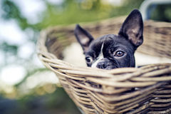 Young Boston Terrier riding in basket on Bicycle Royalty Free Stock Image