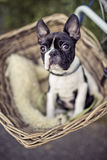 Young Boston Terrier riding in basket on Bicycle Stock Images