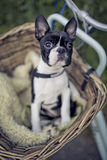 Young Boston Terrier riding in basket on Bicycle Stock Image