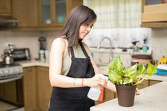 Busy maid using spray on green plant. Young botanist sprinkling pesticide on plant in kitchen Stock Photography