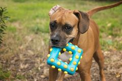 Play Time. A young boxador puppy wants to play Royalty Free Stock Photos