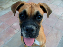 Young Boxer Dog Stock Images
