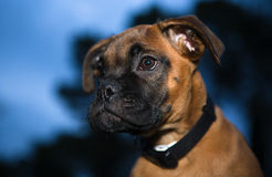 Young boxer dog Royalty Free Stock Photo