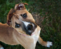 Young Boxer Mix dog with funny ears Stock Images