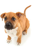 Young Boxer Puppy Royalty Free Stock Image