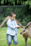 Young boy  asian boy playing with kangaroo Royalty Free Stock Photo