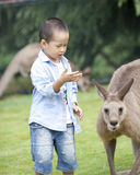 Young boy  asian boy playing with kangaroo Stock Images