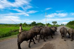 Young boy with buffaloes stock photos