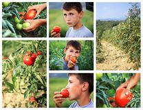 Young boy eating fresh picked tomato in the green fields Royalty Free Stock Photos