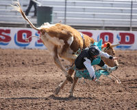 Young boy falling off of bull rodeo Stock Image