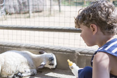Young boy feeding goats stock images