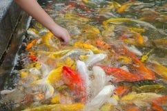 Young boy feeding koi carps Stock Image