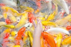 Young boy feeding koi carps Stock Images