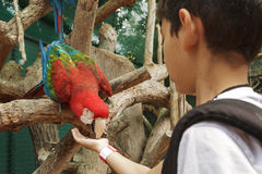 Young boy feeding parrot from the hand Royalty Free Stock Photo