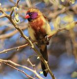 Young boy finding feathers - Waxbills Stock Photos