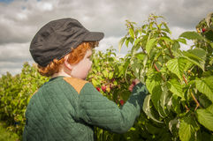 Young boy fruit picking Stock Photos