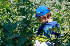 A young boy in the garden picking broad beans. Children gardening. Healthy life and nature education concept.  royalty free stock photo