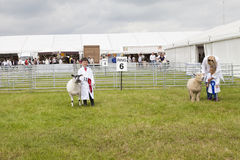 A young boy and girl are prize winners with their Lambs at the R. Cheshire, England - June 22nd 2016 : A young boy and girl are 1st and 2nd prize winners with Royalty Free Stock Photos