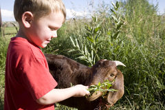Young boy with goat. A young boy trying to feed the goat some alfalfa Royalty Free Stock Photos
