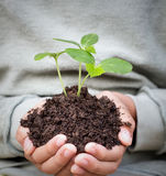 Young  boy hands hold plant Stock Image