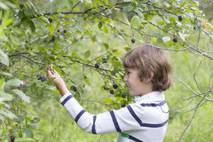 Young boy harvesting green peas. On summer forest royalty free stock image