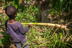 Young boy helping his father in harvesting sugar cane. Kenya royalty free stock images