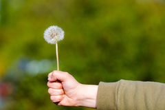 Young boy holding dandelion in straight hand giving an evidence. Of love to parents stock photo