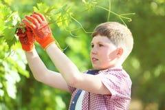 Boy holding grape branch stock photos