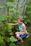 Young boy in hothouse. Young boy looking at cucumbers in hothouse royalty free stock photos