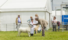 Young boy with lamb at Royal Cheshire County show. Royalty Free Stock Photography