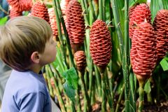 Young Boy Looking at Costus Comosus var. Bakeri - Plant. Young Blond Boy Looking at The Costus comosus var. bakeri, plant native to the forests of Central stock photos