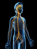 Young boy - the nervous system Royalty Free Stock Photos