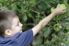 Young boy picking and eating fresh apples Stock Images