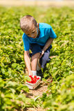 Young boy picking strawberries Royalty Free Stock Photo