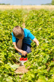 Young boy picking strawberries Stock Photo