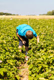 Young boy picking strawberries Stock Image