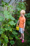 Young boy pouring cucumbers in hothouse Stock Photo