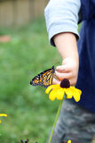 Young boy putting monarch butterfly on flower. Young child putting monarch butterfly on a brown eyed susan flower royalty free stock images