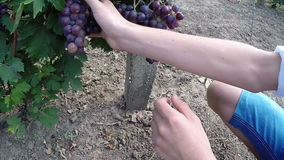 Young Boy Taking Care of the Grapes in Vineyard stock video