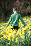 A young boy walking through a field of daffodils in spring time Stock Photography