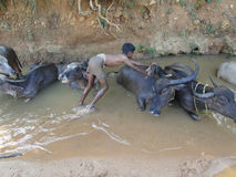 Young boy washes his water buffalo Stock Photo