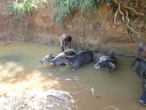 Young boy washes his water buffalo Royalty Free Stock Images