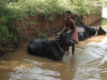 Young boy washes his water buffalo. ORISSA INDIA - NOV 10 - Young boy washes his water buffalo in a shady river on Nov 10, 2009 in Orissa, India Royalty Free Stock Images