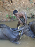 Young boy washes  water buffalo Royalty Free Stock Photos