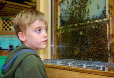 Young Boy watching Bees in a beehive on honeycomb. Beehive exhibit at Children`s Museum draws the attention of young boy royalty free stock images