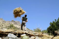 A young boy working hard. A young man working hard with has hands to gather dried hay to his cow in the winter in a village of kurdistan Stock Photos