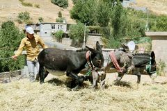 A young boy working hard. With three donkeys to gather cutting dried hay to his cow in the winter in a village of kurdistan royalty free stock photo