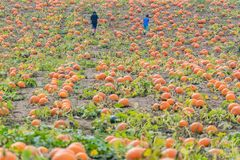 Young boys walking through large pumpkin patch field looking for Stock Images