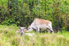 Young Brahma Bulls Royalty Free Stock Photo